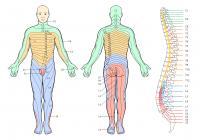 Инервация на кожните зони - дерматоми.